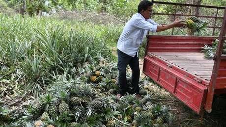 O cultivo de abacaxi requer o uso de grandes quantidades de pesticida