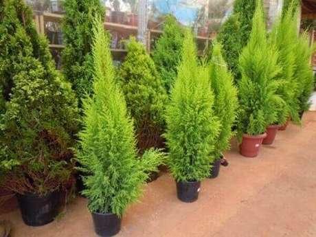 29- As mudas de pinheiro de natal são encontradas em diversas lojas especializadas. Fonte: Boca Santa Ofertas Piracicaba