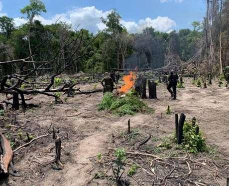 Marinha e PF incineraram pés de maconha em Ipixuna (PA)