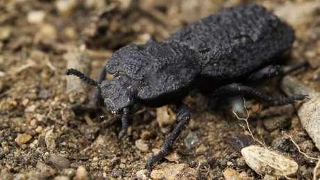 Couraça do besouro diabólico de ferro (Nosoderma diabolicus) é extremamente resistente (