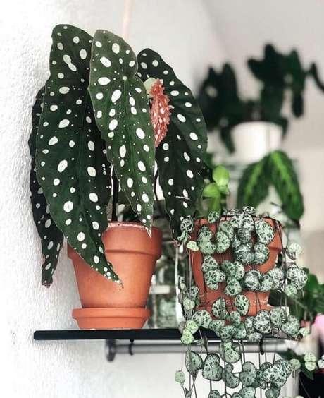34. Os diferentes tipos de Begônia Maculata devem ser protegidas da luz direta do sol. Fonte: Pinterest