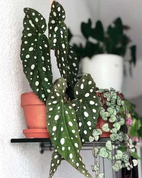 25. Analise de perto a beleza exuberante da Begônia Maculata. Fonte: Girl With Plants
