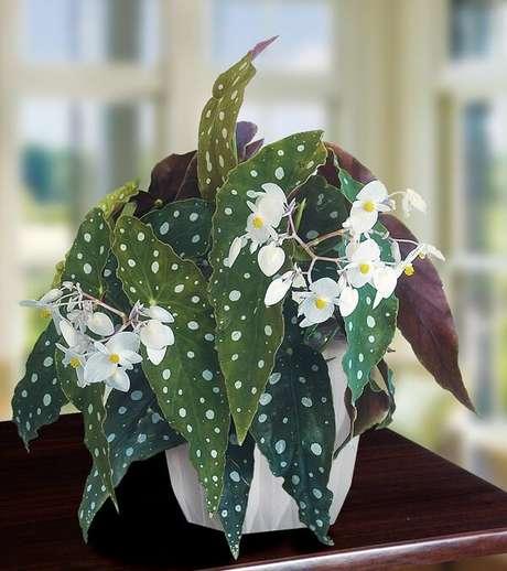 11. Aprenda como cuidar de Begônia Maculata flor. Fonte: Pinterest