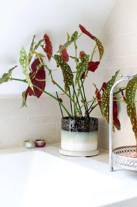 21. Muda de Begônia Maculata cultivada dentro do banheiro. Fonte: Pinterest