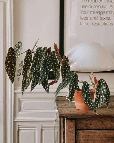 18. É difícil não se encantar com a beleza exótica da Begônia Maculata flor. Fonte: Stéphanie Zwick