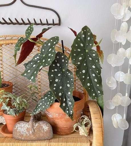 10. Reserve um espaço especial na sua casa para cultivar a Begônia Maculata. Fonte: Topic Of Green