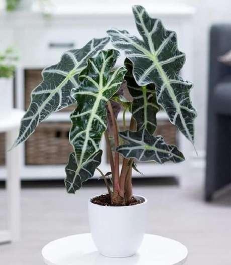 3. A Alocasia Amazônica é também conhecida como Alocasia Polly. Fonte: Pinterest