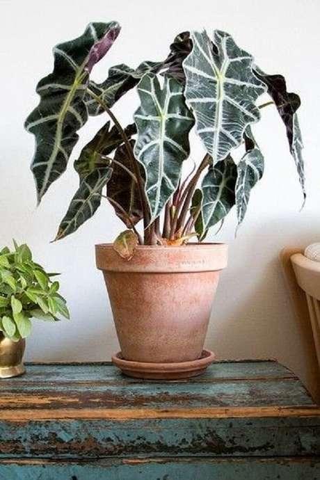 26. A Alocasia Amazônica é uma planta de meia-sombra. Fonte: Pinterest