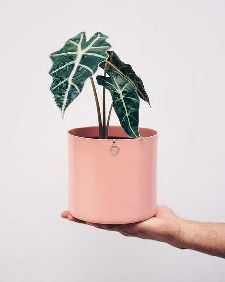 9. A Alocasia Amazônica é uma planta tóxica e deve ficar longe de criança e animais domésticos. Fonte: Selvvva