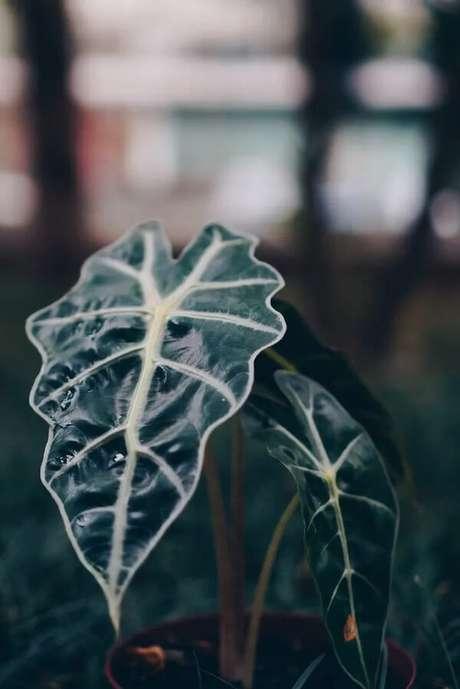 27. A Alocasia Amazônica possui folhas grandes em formato de coração. Fonte: Selvvva