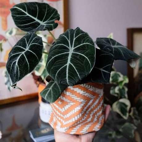 32. A Alocasia cuidados Black Velvet encanta diferentes decorações. Fonte: Pinterest