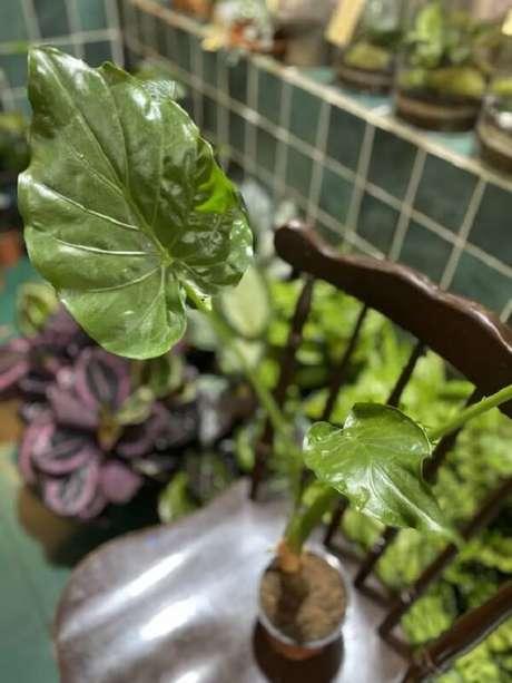 17. A Alocasia Cucullata apresenta folhagem verde bem viva. Fonte: Pinterest