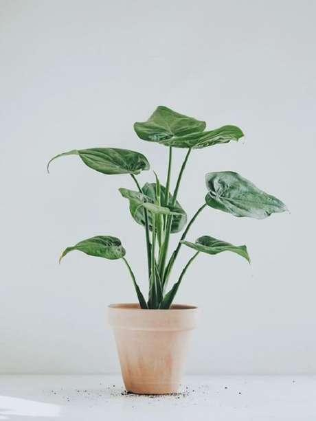 2. A Alocasia Cucullata é muito cultivada em ambientes internos. Fonte: Pinterest