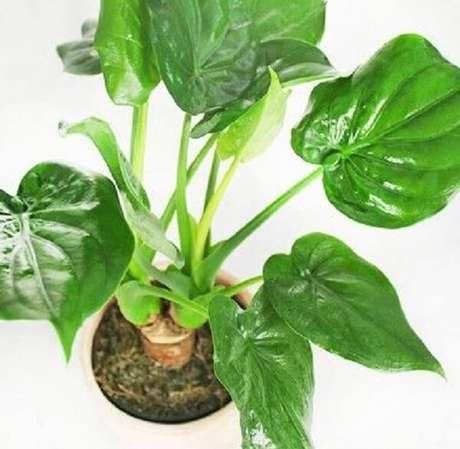 12. A Alocasia Cucullata em ambientes internos precisa ser cultivada próxima à janelas. Fonte: Pinterest