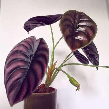 11. A Alocasia Cuprea gosta de umidade e rega frequente. Fonte: Pinterest