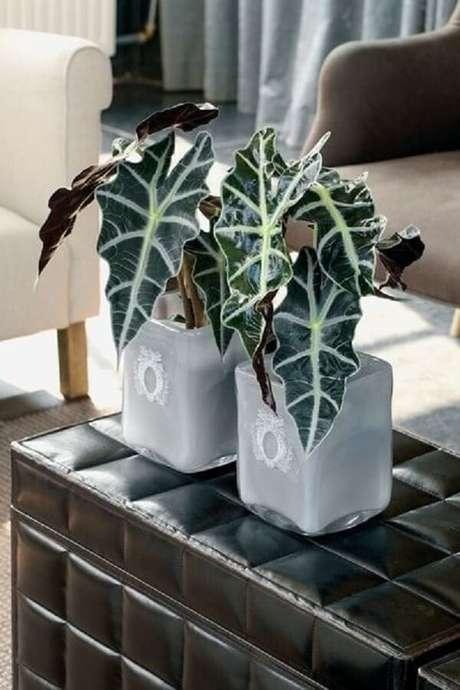 7. A Alocasia Sanderiana possui folhas grandes e nervuras brancas. Fonte: Pinterest