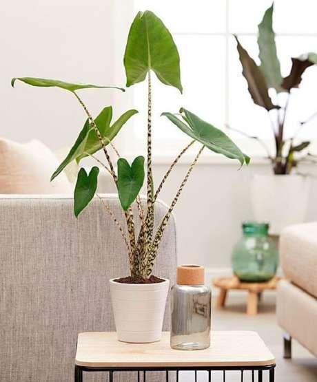 8. A Alocasia Zebrina é puro charme. Fonte: Pinterest