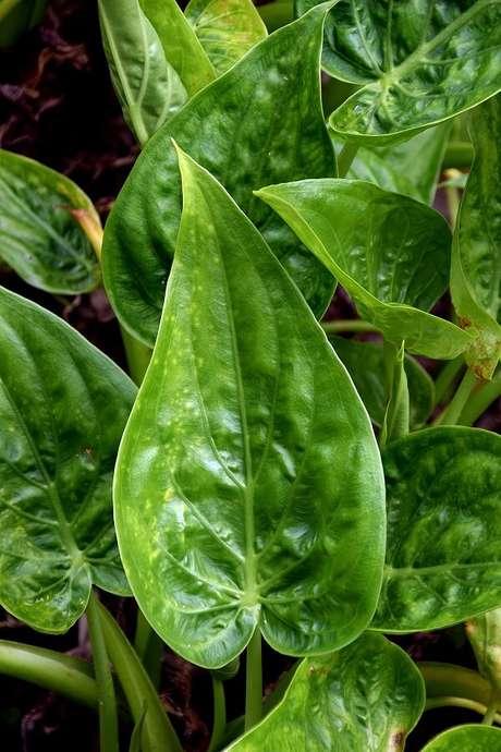 19. A folhagem bem verde da Alocasia Cucullata é majestosa. Fonte: Pinterest