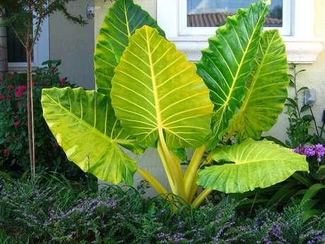 24. Alocasia gigante decora o jardim da área externa. Fonte: Pinterest