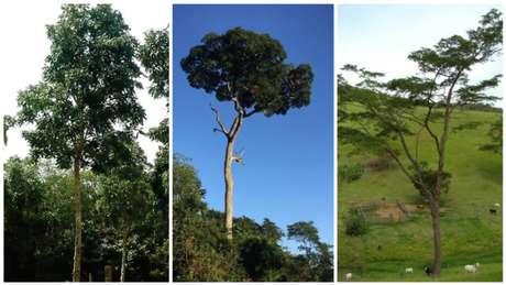 Mogno, ipê-peroba e jacarandá-da-Bahia, as mais cobiçadas