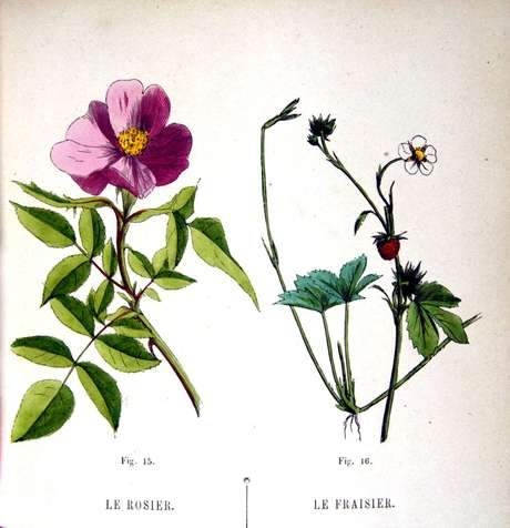 Rosas e morangos são da mesma família