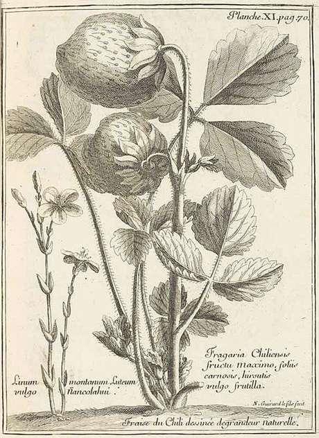 Ilustração que aparece no livro de Frézier dos morangos chilenos do tamanho de nozes ou mesmo de ovos