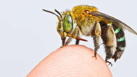 Existem milhares de espécies de abelhas, desde as menores até algumas do tamanho de um polegar