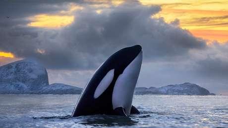 Orca avistada na Noruega