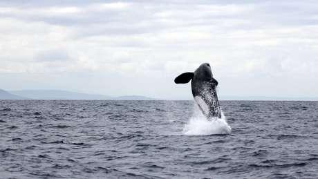 Orcas saltando no oceano