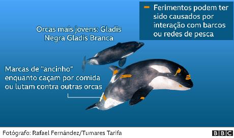 infografia das orcas atingidas