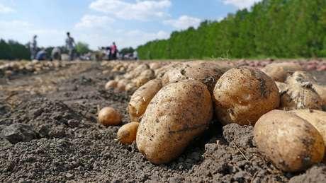 Você teria que consumir 750g de batata por dia para obter a quantidade mínima de vitamina B6 necessária, caso não coma carne