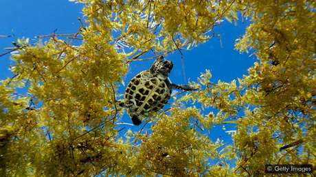 Em águas abertas, o sargaço oferece um habitat essencial para peixes e outros animais marinhos — mas quando se acumula na costa, pode dificultar a desova das tartarugas