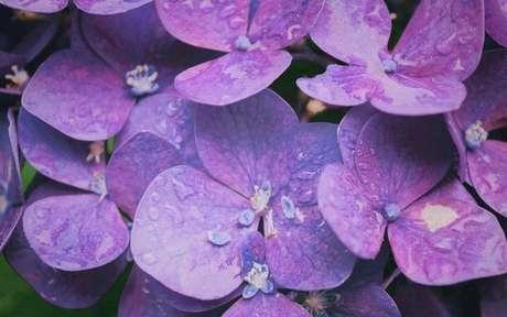 Use flores de violeta para atrair sucesso para o seu lar -