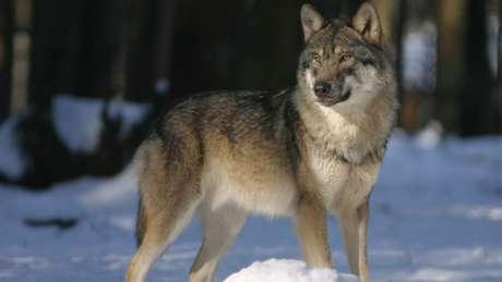Lobo em seu ambiente natural (Imagem: 942784/Pixabay)