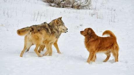 Lobos e Golden Retreiver