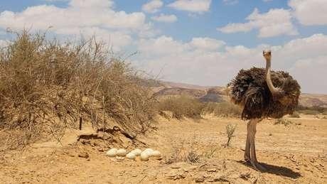 Com peso de 1 a 2 Kg, os ovos de avestruz são um dos maiores ovos comestíveis que existem