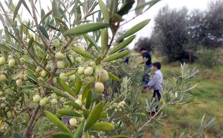 A terra ao redor de Tarhuna contém muitas oliveiras