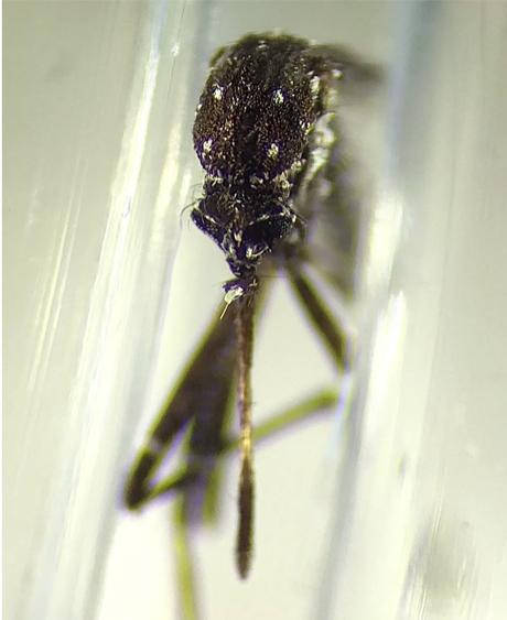 Aedes vittatus encontrado em Cuba; ele é vetor para doenças como febre amarela, zika e chikungunya