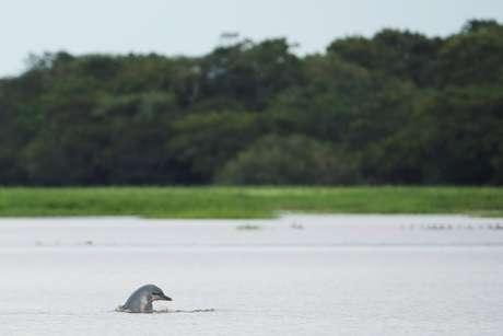 Tucuxi na Reserva de Desenvolvimento Sustentável Maimirauá, no Amazonas 19/01/2020 REUTERS/Bruno Kelly