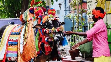 Festival Sankranti, em Machilipatnam, Índia; sacralização da vaca teve papel na formação do país