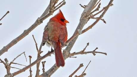 Embora não seja inédito, pássaros de sexo misto são raros