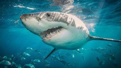 Uma série de espécies, incluindo o tubarão-branco que ficou famoso no filme, estão ameaçadas