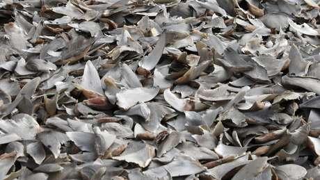 Os especialistas estimam que cerca de 100 milhões de tubarões são mortos em todo o mundo a cada ano — há uma demanda específica por suas barbatanas
