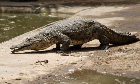 Crocodilo recuperado após fugir de criadouro na África do Sul 26/01/2013 REUTERS/Mike Hutchings