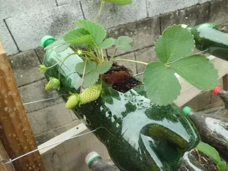 15. Horta com garrafa PET: plantação de morangos orgânicos. Fonte: Pinterest