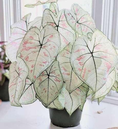 3. Caladium branco e rosa da planta na sala de estar – Foto Pinterest