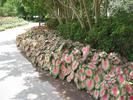 27. Jardim com caladium no caminho moderno – Foto Pinterest