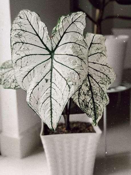 12. Caladium branco na decoração clean – Foto Pinterest