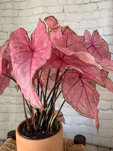 34. Caladium rosa na decoração – Foto Pop Sugar