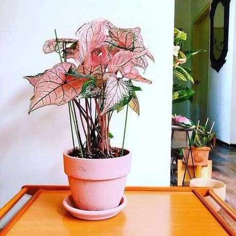 9. Caladium rosa com vaso da mesma cor – Foto Balcony Garden Web